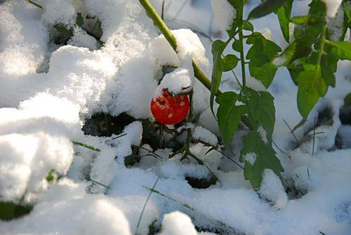 Snow tomatoes