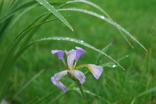 Wet_iris